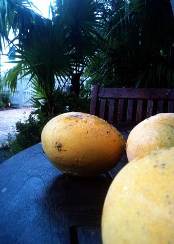 Freshly fallen mangoes.