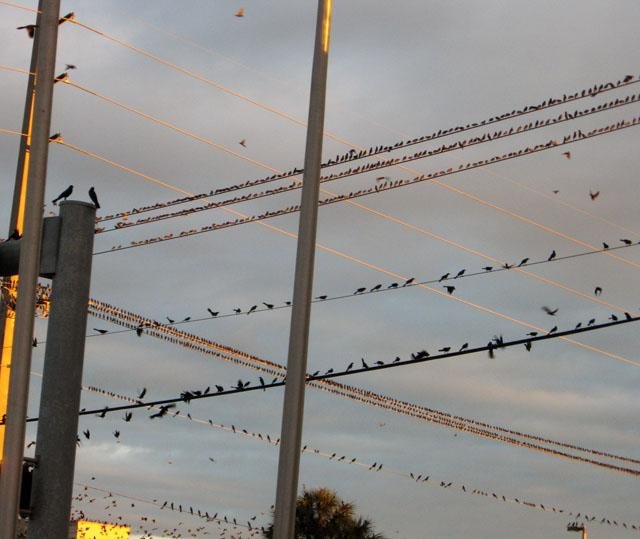 Birds flocking on Sunset Drive in Miami