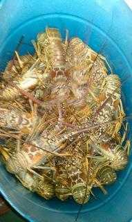 Fresh caught lobsters!