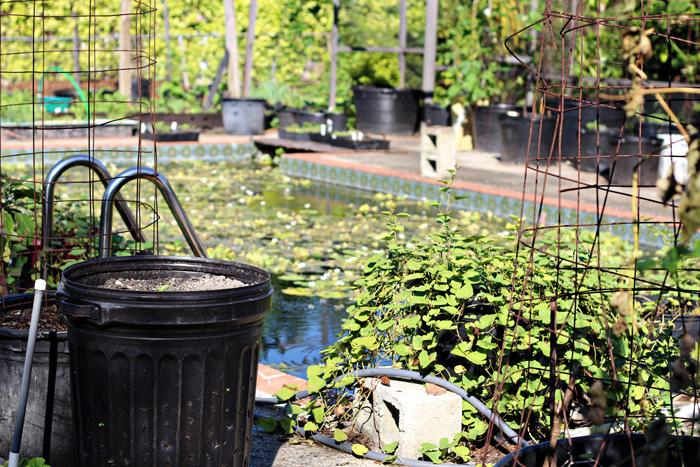 "The pool in the backyard is a network of lilies and other water plants: ""I just got tired of cleaning the pool."" Fish like gambusia and coy live in the pool. Strawberries grow out of the repurposed garbage can."