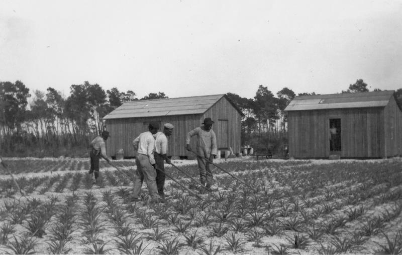 Early years of pineapple cultivation on the farmland of Albert Neal Sample, who constructed the house in 1916.