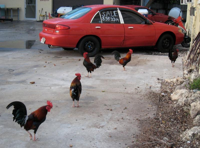The Key West chickens have their fans and their detractors.