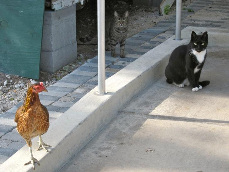 Feral cats mix with feral chickens in Key West.