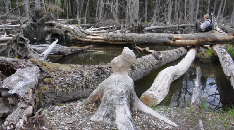 They were there to were there to interact with the landscape according to their professional specialties, and also understand the impact of the North American Beaver on the wilderness.