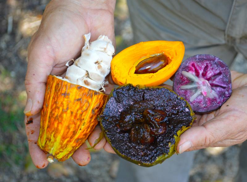 (left to right) Cocoa, chocolate pudding fruit (black sapote), canistel (yellow fruit) and star apple (camito) are all examples  of exotics brought over and grown in South Florida.