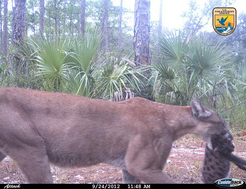 "A rare uncollared female panther caught on ""wildlife cam"" moving a kitten."