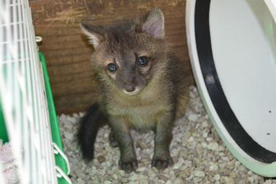 A gray fox kit at the South Florida Wildlife Center
