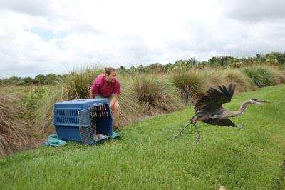 A successful release for a rehabbed great blue heron.
