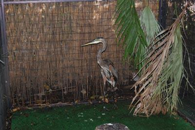 A great blue heron in its rehab habitat.