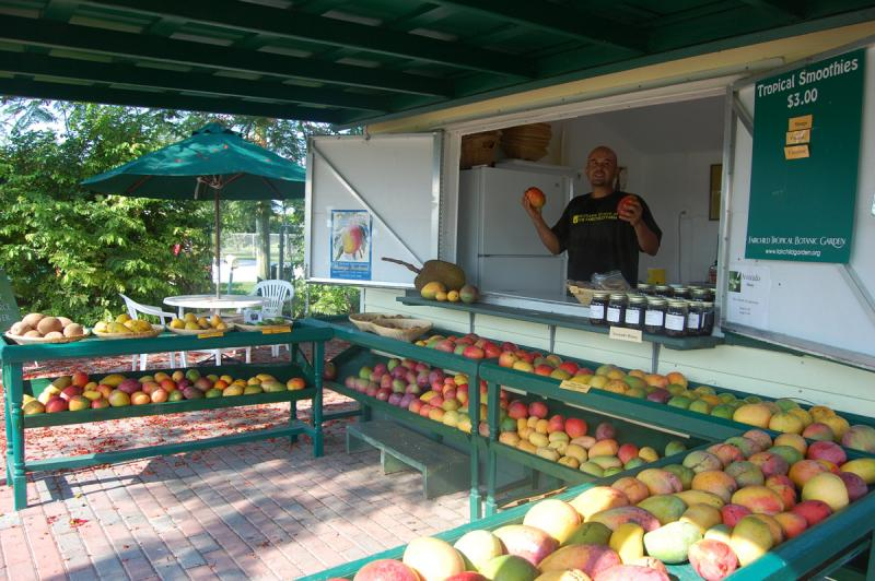 Mango Season at the Fairchild Farm