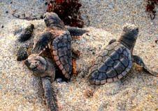 One in every three sea turtle hatchlings disorient to artificial light in Broward County