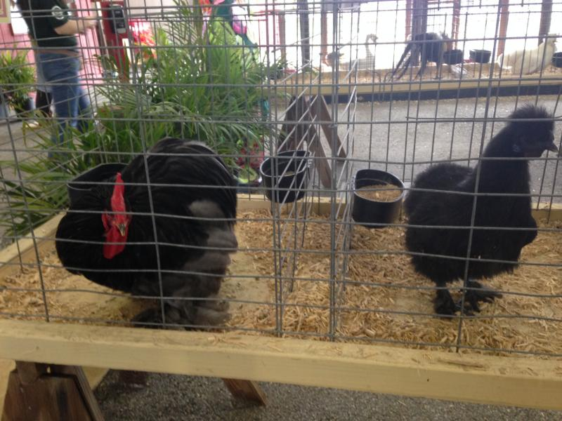Some locals enter poultry or rabbits to compete for grooming, showmanship and best animal in their category.