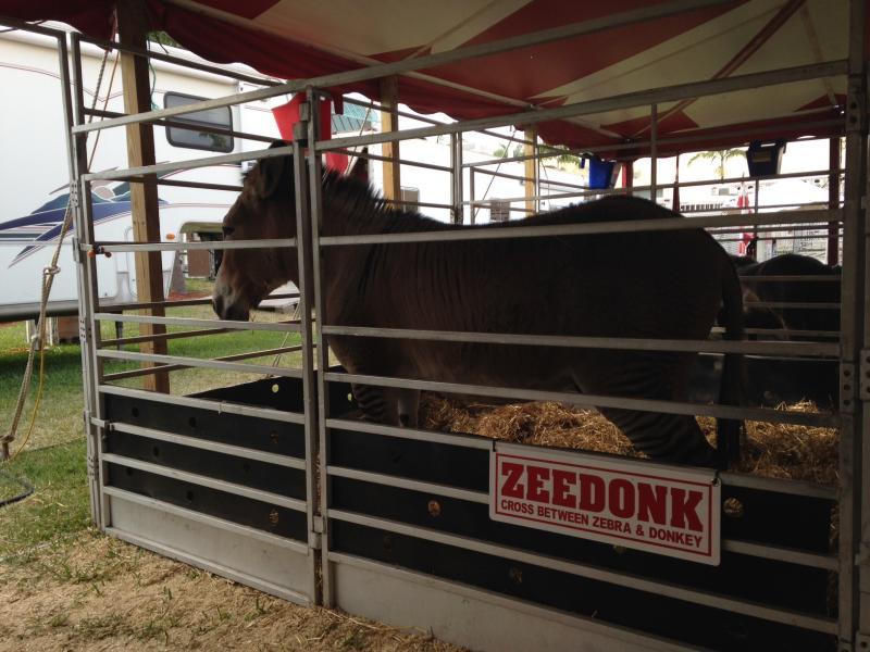 A zedonk-- half zebra, half donkey