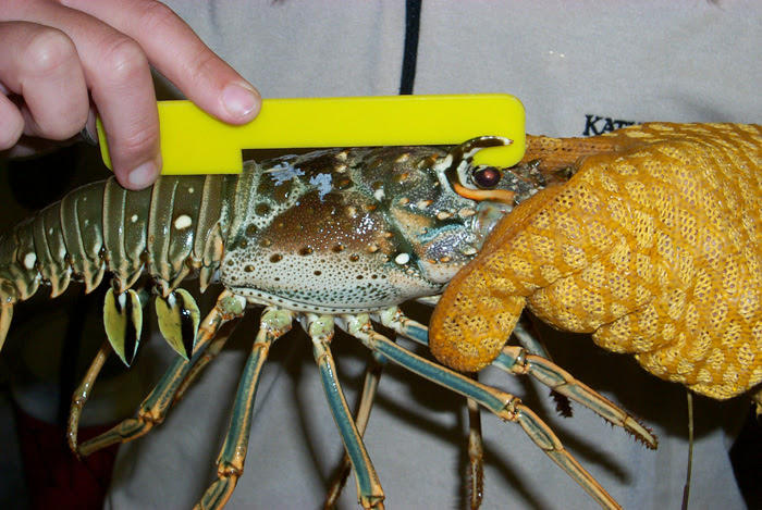 The spiny lobster carapace must be at least 3 inches long to be legal to harvest.