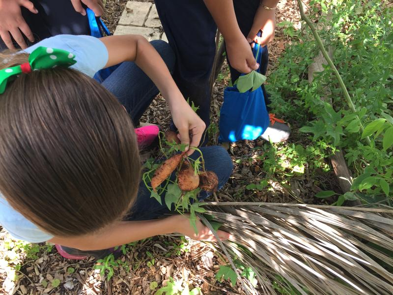 Twin Lakes Elementary School students harvest sweet potatoes from the school's 'food forest.' Students take home greens and other fresh produce every week.