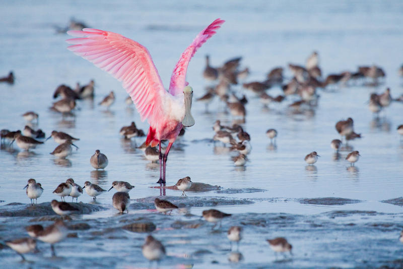 Roseate spoonbills were almost wiped out by plume hunting in the late 19th century. They came back, but the population has struggled in recent decades.