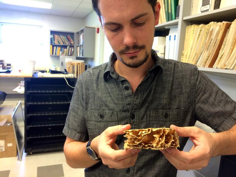 UF Assistant Research Scientist Thomas Chouvenc holds a piece of yellow pine two-by-four that has been eaten away by subterranean termites.