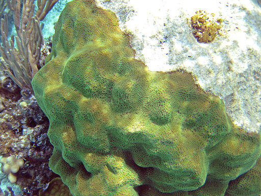 Mustard hill coral, the type studied by University of Miami researchers.
