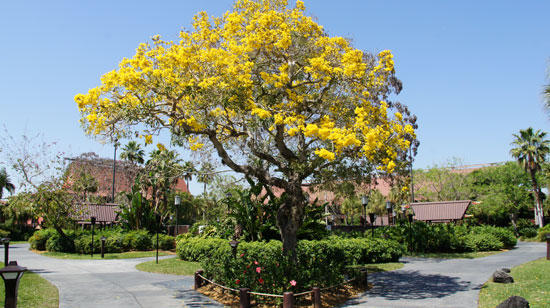 A yellow tabebuia in Central Florida.