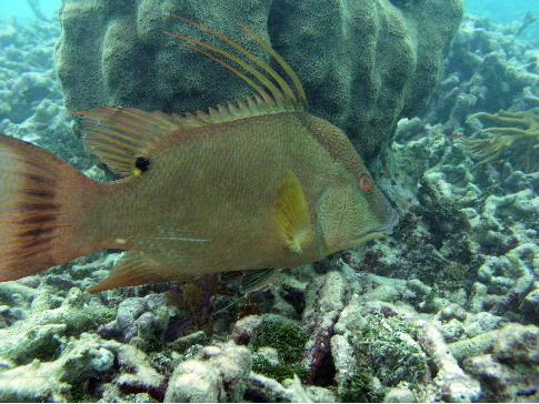 Hogfish have gotten increasingly popular in recent years, especially as a target for spearfishing.
