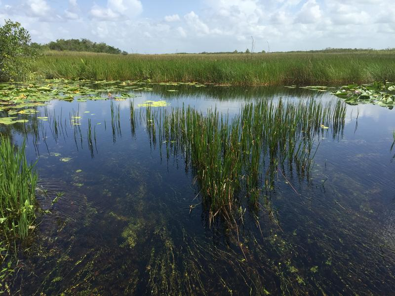 Seagrass is one of the key secrets to filtering the pure water in the Everglades.