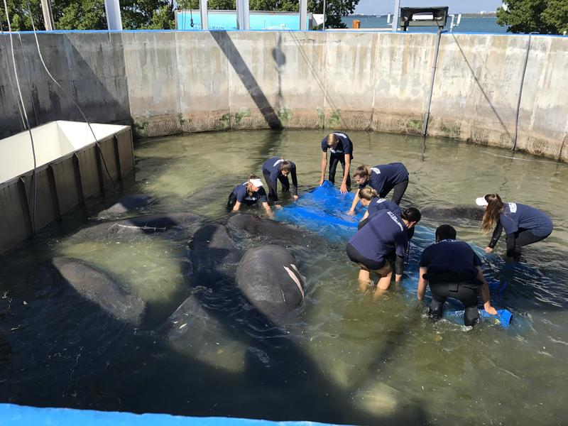 Miami Seaquarium  workers help transport the 800-pound manatee named Pocket.