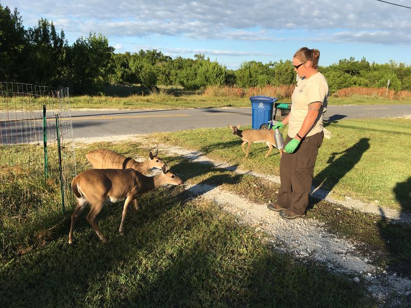 U.S. Fish & Wildlife Service's Katrina Marklevits treats Key deer with anti-parasitic medicine to protect them from screwworm.
