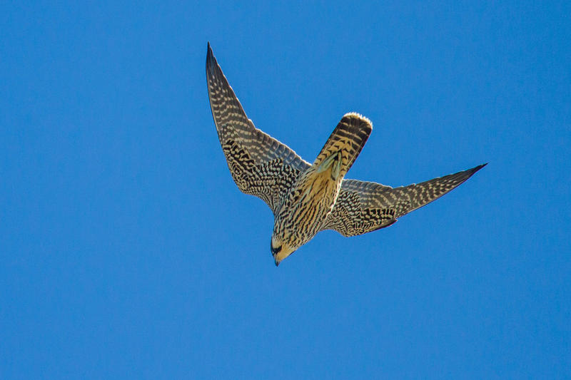 Peregrine falcons are the fastest animal on earth when they dive, or stoop.
