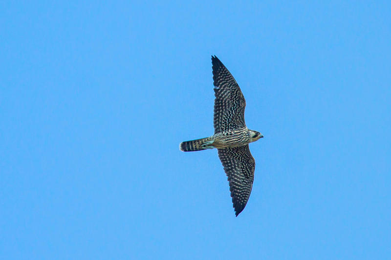 A peregrine falcon. More peregrines have been seen at the Keys Hawkwatch than any other site in the world.
