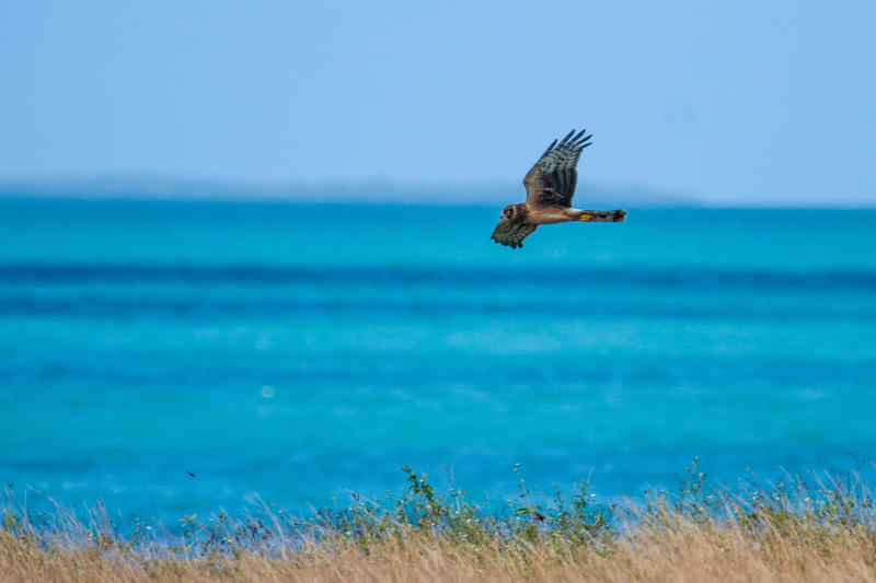 A Northern Harrier cruises a field looking for prey.