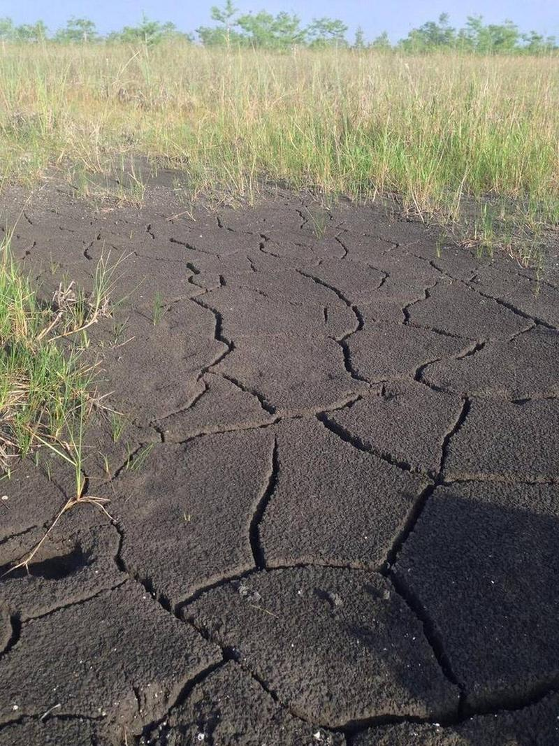 Peat, a boggy soil incredibly efficient at trapping carbon, has begun drying out in Everglades National Park because of a lack of freshwater. When it collapses, the peat releases carbon back into the air.