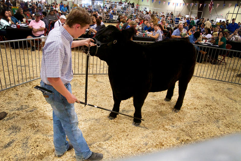 Okeechobee High School FFA's Patrick Lehman shows his 1,200-pound prizewinning steer, Melvin, at the South Florida Fair Youth Livestock Auction in West Palm Beach on Jan. 21, 2017.