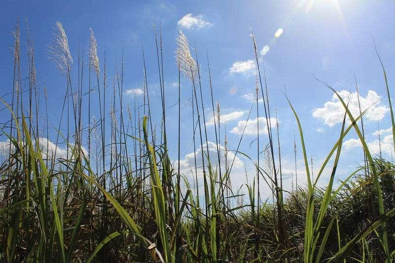 Sugar cane is the dominate crop of Florida's agricultural heartland south of Lake Okeechobee.
