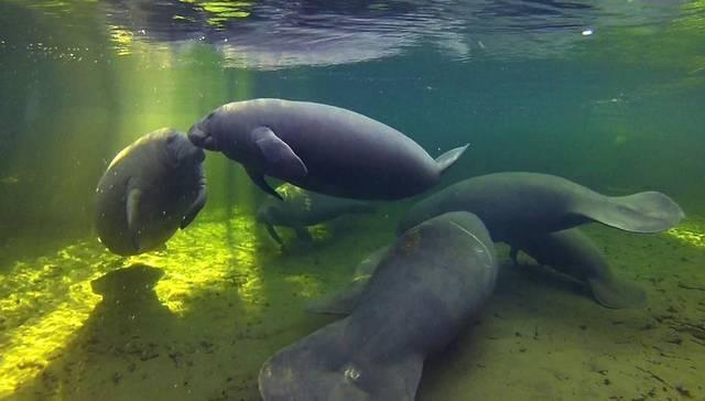 Manatees take refuge in warm waters in Blue Springs near Orlando in 2012.