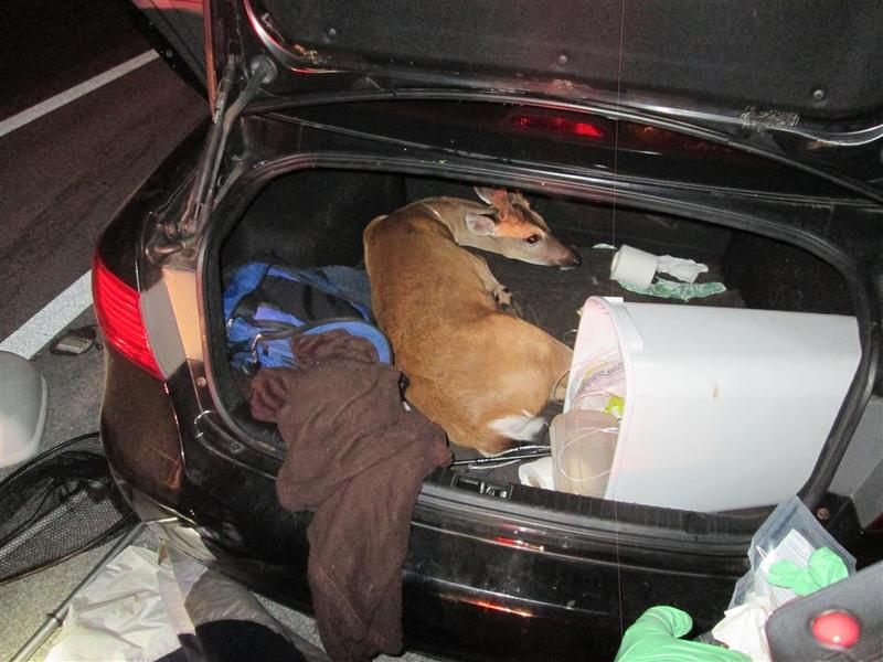 A Monroe County sheriff's deputy pulled over a car for a broken taillight Sunday — and found three endangered Key deer, including one in the trunk of the car.