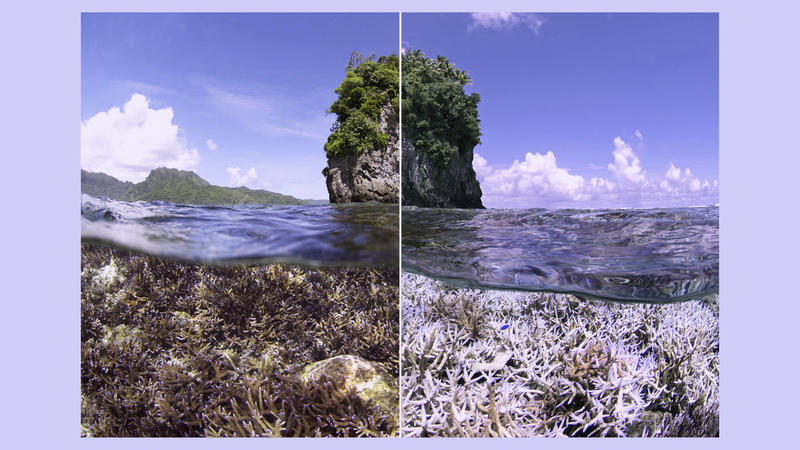 When sea temperatures rise and the surface is calm, corals expel their algae leaving the white skeleton structure underneath exposed.