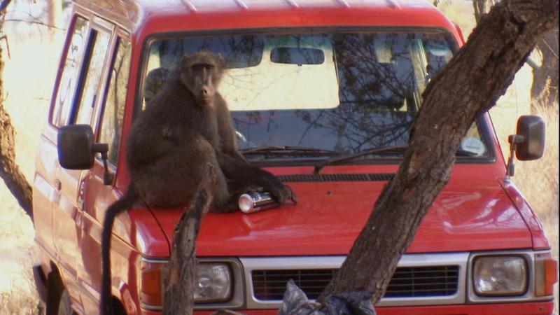 WILD: Baboon Bandits