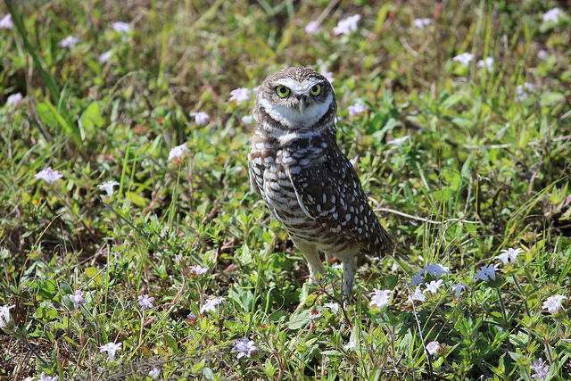 The Florida burrowing owl used to live primarily in the dry prairies of central Florida, but now many are living in urban areas.