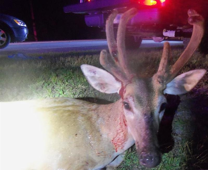 The buck that was taken was moving more slowly when released and is being monitored, according to refuge managers.