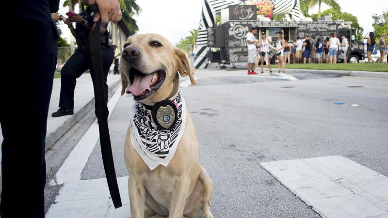 "Police dog Koda wears a ""Bassdrop University: Summerfest"" bandana as his partner makes sure the grounds remain safe"