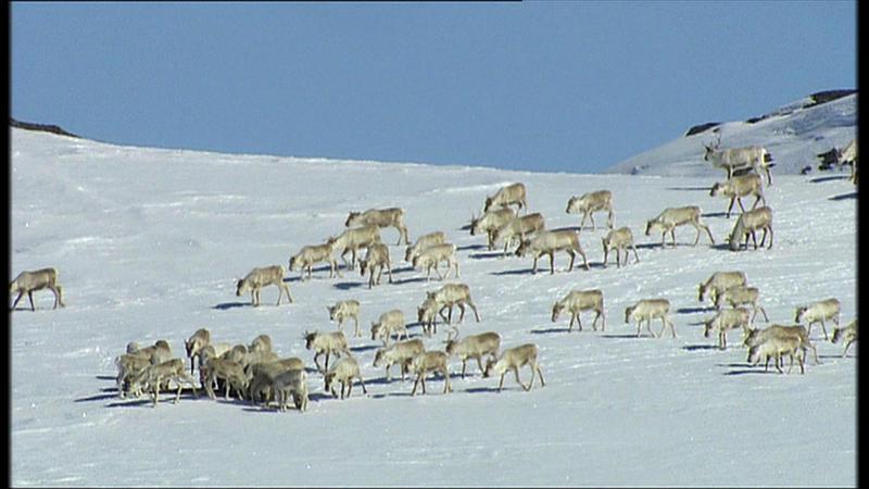 WILD: Hardanger Plateau, wild reindeer