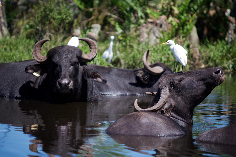 Lion Country Safari's Asian water buffalo stayed in water during Hurricane Irma.