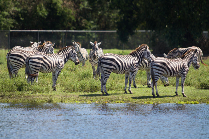 Lion Country Safari's zebras huddled together during Hurricane Irma.