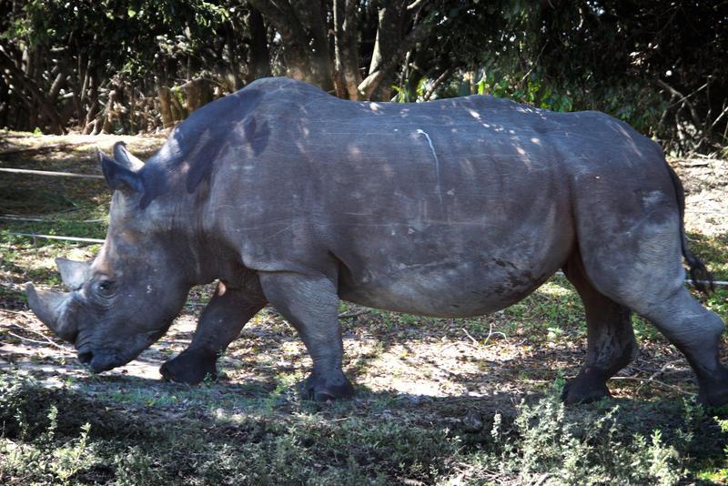 An adult rhinoceros weights between 3,000-4,000 lbs.
