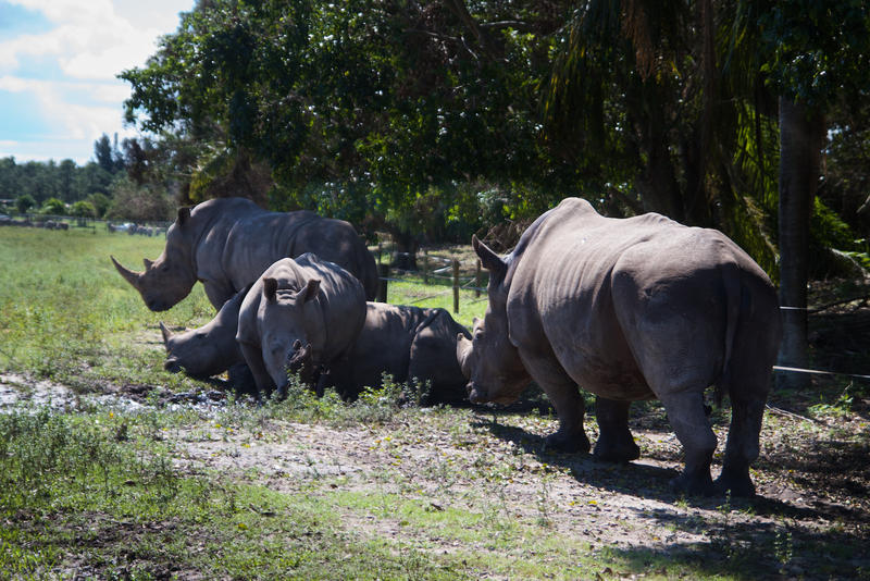 Lion Country Safari's 12 white rhinoceroses were housed in an enclosure during Hurricane Irma.
