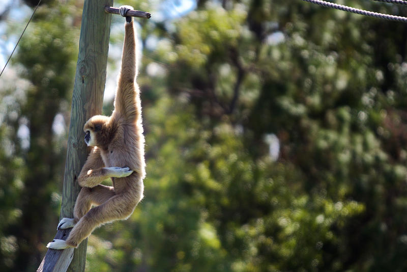 Lion Country Safari's white-handed gibbons were housed in a shelter building during Hurricane Irma.