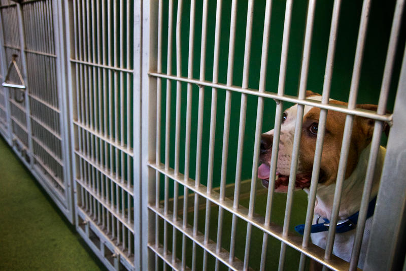 "Two-year-old rescued pit bull ""Buddy"" waits to be adopted at Palm Beach County Animal Care and Control in West Palm Beach on Sept. 18, 2017."