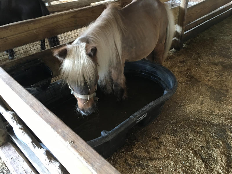 Bam Bam, miniature horse, drinks from the water tub.