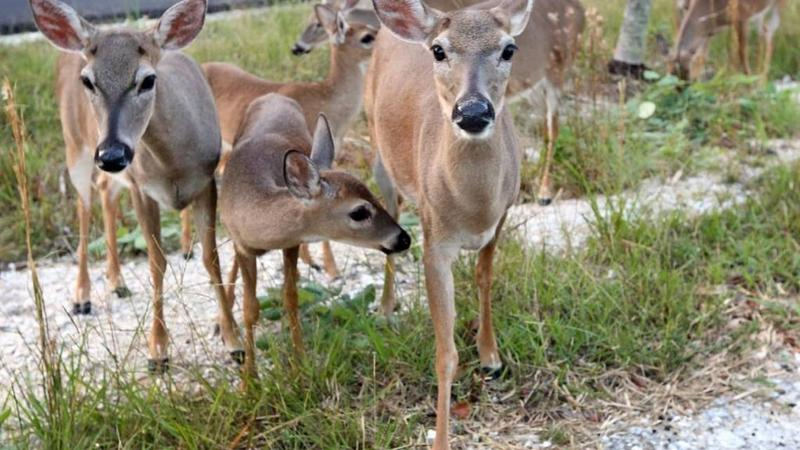 Since Hurricane Irma, residents have helped tend to endangered Key deer, shown here in October 2016 after an outbreak of Old World screwworm. Federal wildlife officials, however, warn that feeding the deer can harm them.