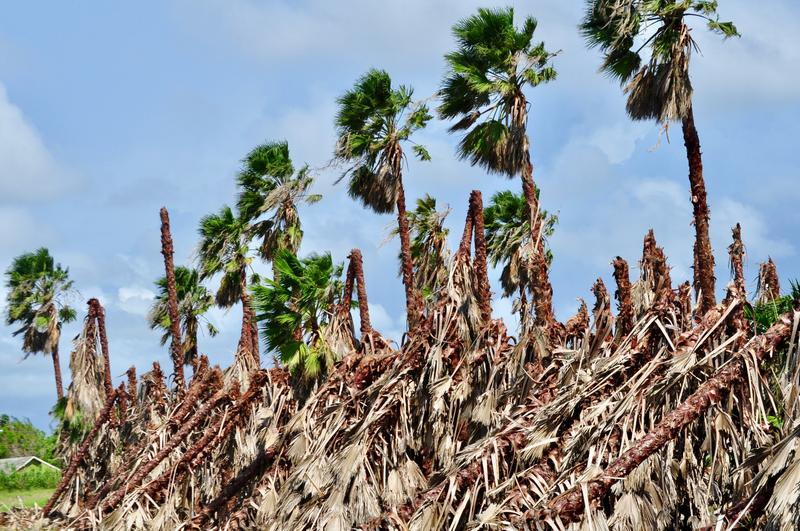 A grove of Washingtonia palm trees in Homestead damaged by Irma. The storm did millions of dollars of damage to agriculture in South Florida.